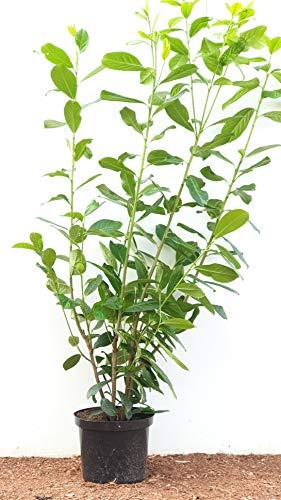 Kirschlorbeer Heckenpflanzen immergrün Sichtschutz Prunus lauroc.'Novita' im Topf gewachsen 100-120cm (1 Stück)