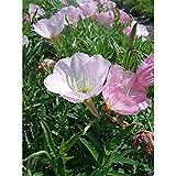 Oenothera speciosa 'Siskiyou Pink' - Garten-Nachtkerze 'Siskiyou' - 9cm Topf