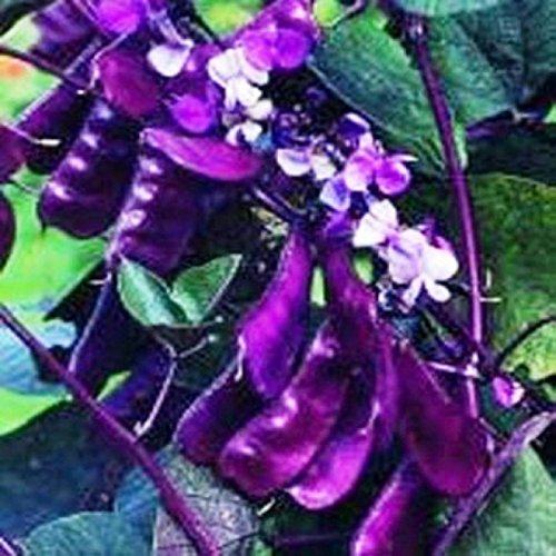 Redleaved Hyacinth Bean Vine 10 Seeds Fast Growing Vine with Deep Red Foliage
