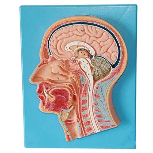 LBYLYH Human Head Medium sagittal Cut Anatomy Model, Brain Model anatomiy, Ladder Vascular Nerve Model for Medical Education Training aid