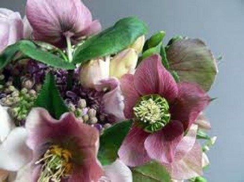 15 + semi di rosa fior di elleboro Natale/inverno Blooming perenni