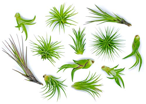 Plants for Pets 12 Air Plant Variety pack