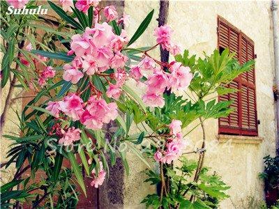 100 Pcs Nerium Oleander Flower Look Seed Tout comme les plantes Rose Fleur Bonsai jardin Arbre Quatre Saisons fleurs vivaces Easy Grow 11