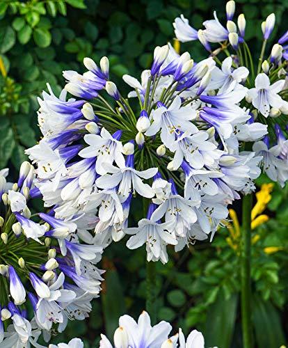 Qulista Samenhaus - Südafrika Raritäten Agapanthus Schmucklilien für Bienen und Schmetterlinge Kübelpflanze Blumensamen exotisch winterhart mehrjährig in auf der Terrasse/Balkon