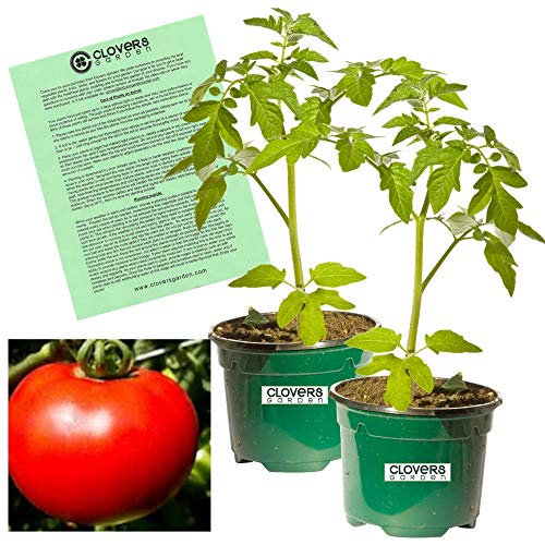 Clovers Garden Mountain Fresh Tomato- Two (2) Live Plants - Not Seeds -Each 4