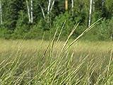 Red Supply Solution Wild Rice 500 Seeds - Zizania Palustris, Organic...