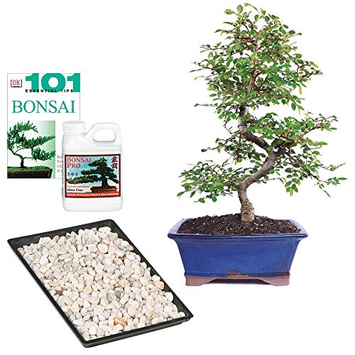Brussel's Bonsai Live Chinese Elm Outdoor Bonsai Tree - 8 Years Old 8' to 10' Tall with Decorative Container