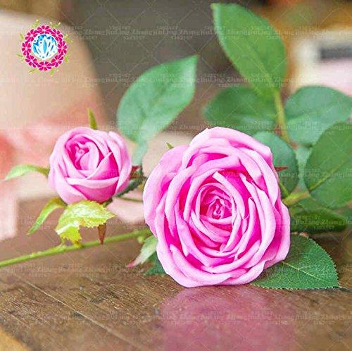 100pcs coloré Graines Rose avec bord rouge, couleur rare jardin populaire Graines de fleurs vivaces Bush ou Bonsai Fleur 7