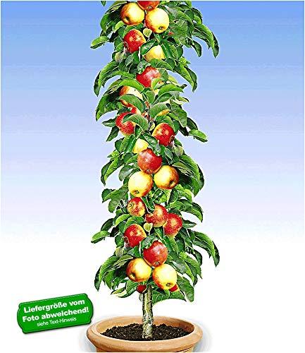 BALDUR Garten Säulen-Apfel 'Braeburn', 1 Pflanze Apfelbaum Malus domestica