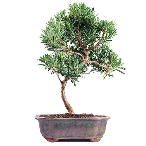 Top japanese yew for 2020