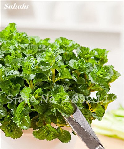 500 pcs menthe verte graines comestibles Cat Mint Balcon Semences à gazon Vente en gros Cat Snack jardin d'herbe verte de plantes d'intérieur Bonsai 4