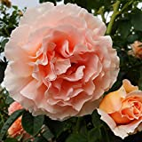 Own-Root One Gallon Polka Climbing Rose by Heirloom Roses