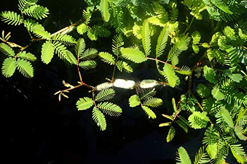 Wassermimose - Neptunia oleracea - 1 Bund - Aquarium-Pflanze