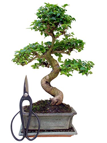 Zimmerbonsai chinesischer Liguster Bonsai ca. 9-10 Jahre ca. 30-35 cm hoch Immergrün inkl. Bonsaischere