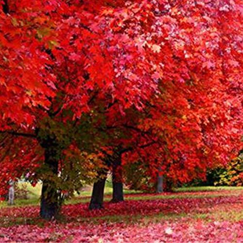 SummerRio Garten-5 Pcs Selten Ahorn Baum Samen Fächerahorn gebraucht kaufen  Wird an jeden Ort in Deutschland