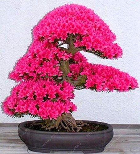 20 graines/paquet de graines de sakura japonais bonsaï ornement graines de cerisier fleurs de cerisier pour la maison et le jardin rouge