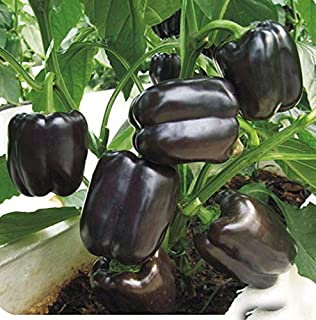 Pepper Chilli Coriander Seeds Vegetables 120PCS Fresh Rare