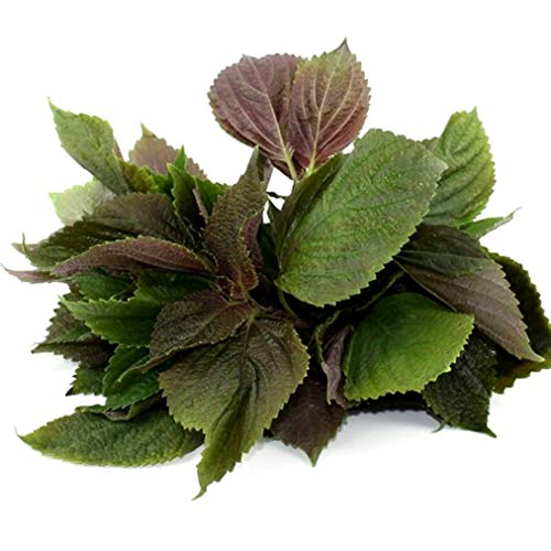 Shiso Perilla Seeds Purple/Red Mint Green Japan Basil Sprouts 73C (300 Seeds)