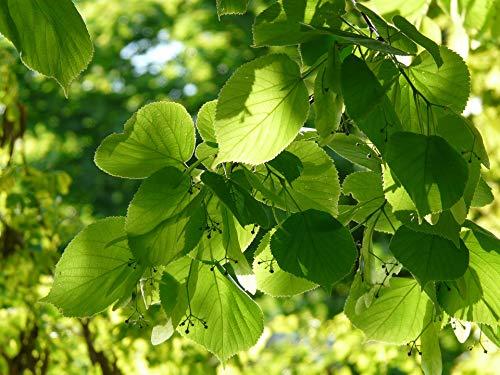 Tilia Cordata Pflanze, klein, Lindgrün