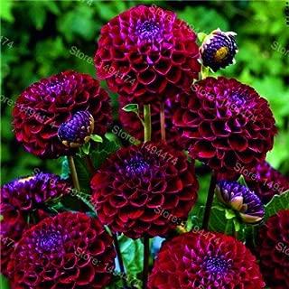 Best dahlia seeds india Reviews