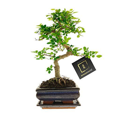 Bonsaiworld Bonsai S-förmige - 8 Jahre alt - Baumhöhe 25-30 cm