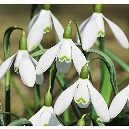 Florado 8x Schneeglöckchen Blumenzwiebeln `Maximus`, Zwiebelblume, Garten Balkon, Blumen Schnittblumen, Bienen Hummeln, Größe 6/+