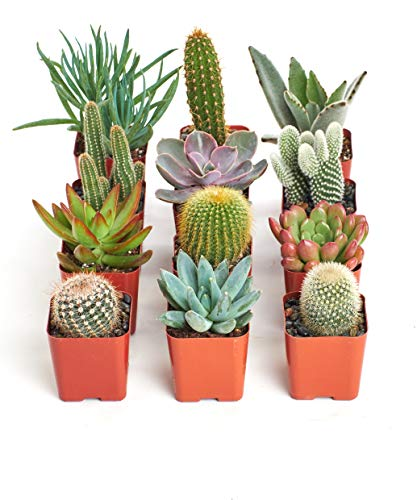 Shop Succulents | Can't Touch This Collection | Assortment of Hand Selected, Fully Rooted Live Indoor Succulent and Cacti Plants, 12-Pack