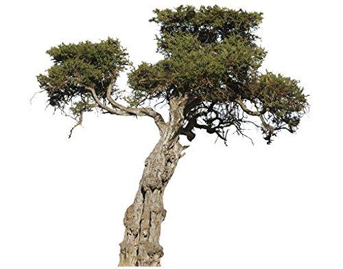 Apalis Wandtattoo No.394 Olivenbaum Baum Trocken Olive Pflanze Natur