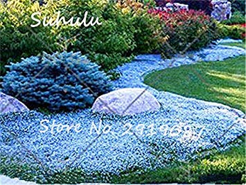 Cheap 200 Pcs rainbow ROCK CRESS Seeds or Creeping Thyme Seeds Perennial Ground cover beautiful flower Natural growth 7