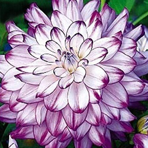 TOYHEART 100 Stück Premium-Blumensamen, Dahlien-Samen Herrliche, Nicht Gentechnisch Veränderte Bunte Blütenblumensämlinge Für Den Garten Lila