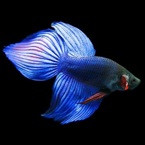 (熱帯魚)ベタ トラディショナル オス 青系(約5cm)(1匹)[生体]