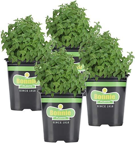 Bonnie Plants Catnip Live Herb Plants - 4 Pack, Pet Friendly, Grows Great in...