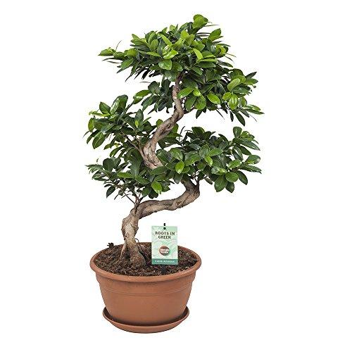 Ficus Ginseng Bonsai – Planta verde – planta de interior – Altura 70 cm – Maceta 27 cm – Fácil mantenimiento