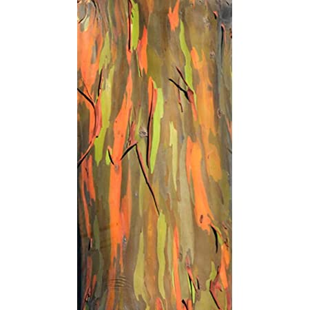 Árbol del arco iris - Eucalyptus deglupta (Bonsai adecuado) - 50 semillas