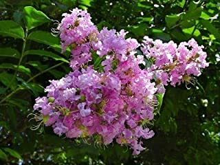 25 BASHAMS PARTY PINK CREPE MYRTLE SEEDS - Lagerstroemia indica x fauriei