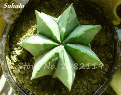 Succulentes graines fraîches 200 Pcs étoile à cinq branches charnus Graines rares Sempervivum Mix-kinds Fleurs Succulent Bonsai Plantes en pot 3