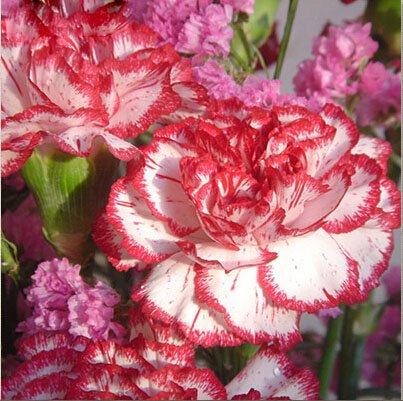 La vente de Hot 16 couleurs disponibles Carnation Graines Fleurs vivaces Plantes en pot Jardin Dianthus caryophyllus Fleur Graine 200 Pcs 3