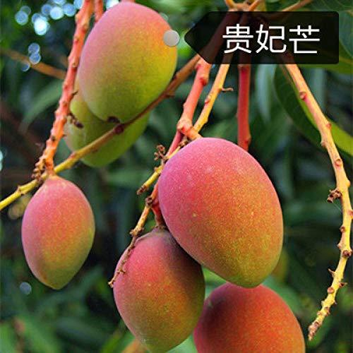 Mango-Samen Mango-Obstbaum-Samen Royal Mango-Obst-Samen 300 Samen-Royal man_300 Mango-Samen