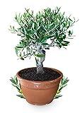 Bonsai - Árbol de olivo (25 cm), color verde