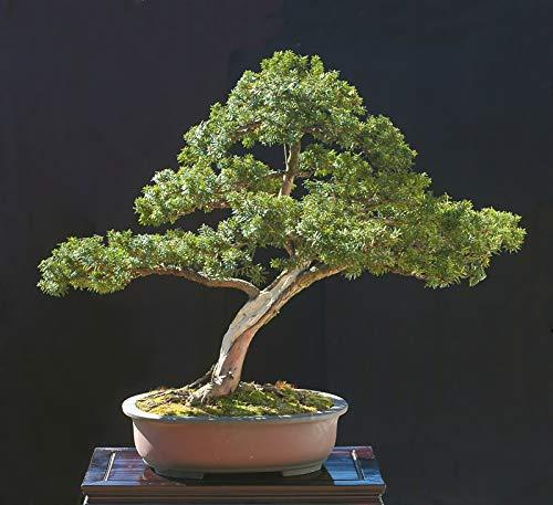 Bio-Saatgut Nicht nur Pflanzen: 4100 Seeds: Japanische Eibe, Taxus capitata, Samen (Evergreen, Topiary) mit der Faehre