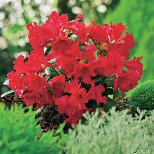 Wild-Rhododendron 'Scarlet Wonder'