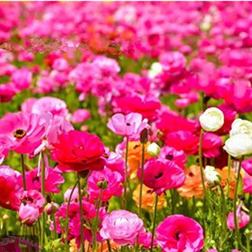 SummerRio Garten-50 Pcs Selten Mixed Wildblumen Kombination Samen Schmetterling & Bienen Mehrjährige Blume Pflanzensamen Winterhart Garten Balkon