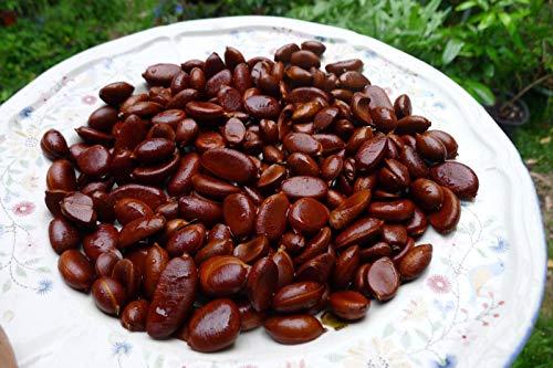 Portal Cool Schwarz Sapote/Schwarz Persimmon 10 Samen - Aka Schokoladenpudding Obst - Bio