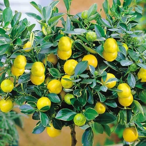 Tomasa Samenhaus- Mini Zitronenbaum Samen Bio-Zitronen winterhart mehrjährig Bonsai Zitrone Essbar Obst Saatgut Zimmerpflanzen Obst Zitrone für Balkon, Garten