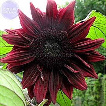 Visa Store Tournesols ornementaux presque noirs rouges de 2018 Hot Sale 'Black Magic', pack professionnel, 15 graines, 3 couches de grosses fleurs Bloom E4065