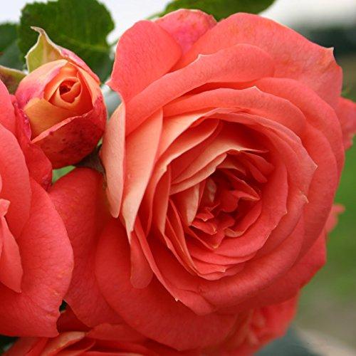 Kordes Rosen Sommersonne Beetrose, lachsorange/gelb im verblühen rosa, 12 x 12 x 40 cm