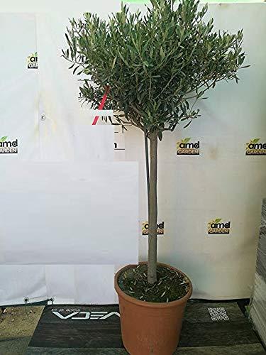 Pianta di ULIVO OLIVO ORNAMENTALE BONSAI a palla in vaso 35 cm Foto reale AMDGarden