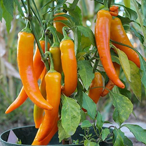 Samen für ca. 10 Pflanzen Harvey Paprika - scharfer Paprika, ertragreich