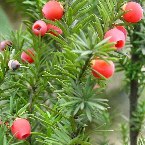 Nuevos 10pcs Las semillas del árbol de hoja perenne de Taxus chinensis, Semillas Planta Ornamental Perenne chino del tejo, Semillas familia Taxaceae Taxus sumatrana