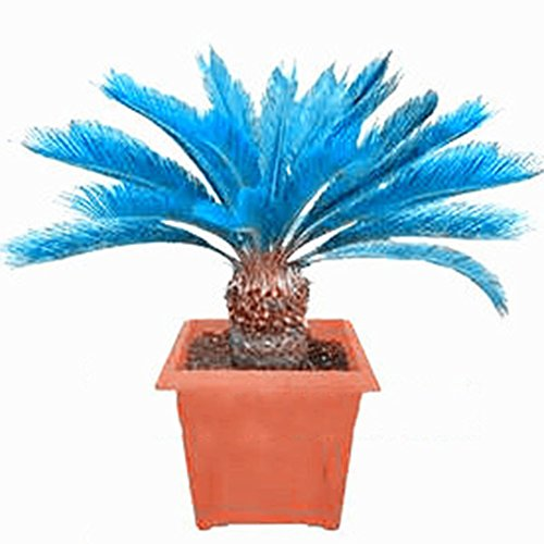 wuwxiuzhzhuo 100PCS Blau Sago Palm Tree Seeds, palmfarne Bonsai Pflanzen Home Garten Dekoration 1